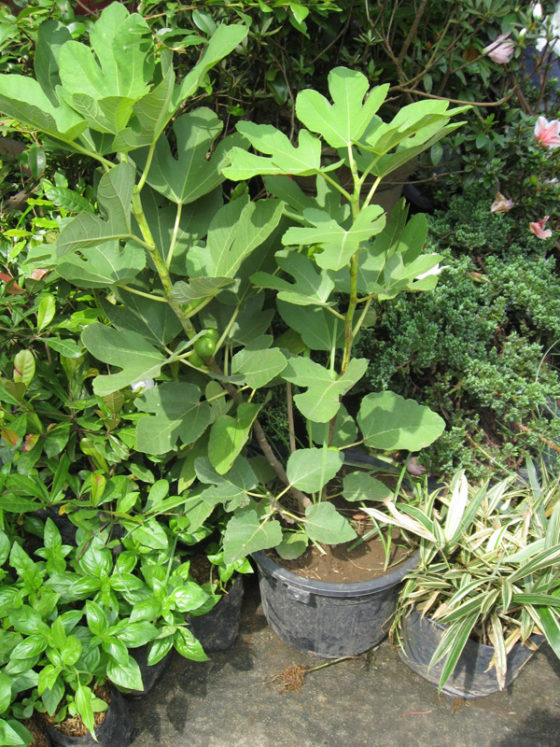 Fig tree offered at 1200 pesos. Plant and Nursery Shops, 69th Mid-year Orchid and Garden Show