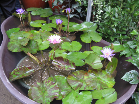 Tropical water lilies. Plant and Nursery Shops, 69th Mid-year Orchid and Garden Show