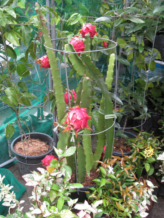 Dragon Fruits. Plant and Nursery Shops, 69th Mid-year Orchid and Garden Show