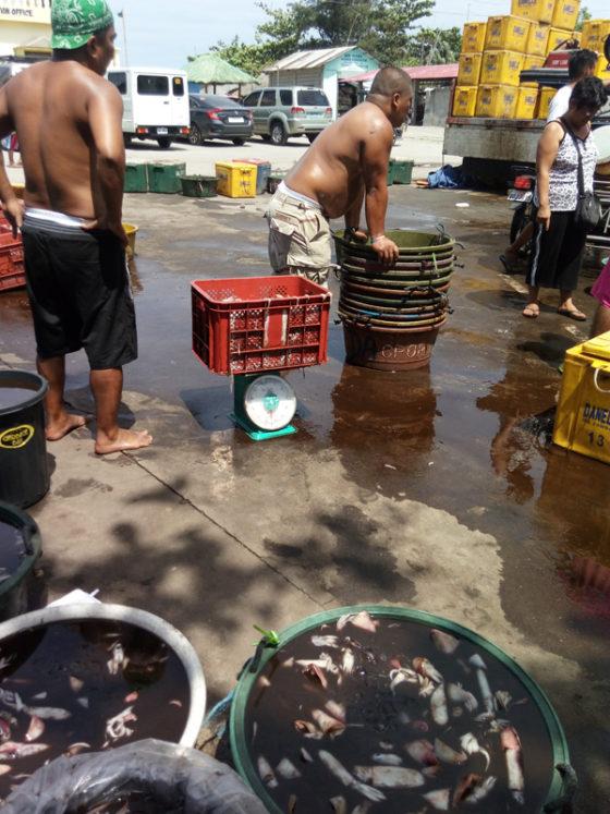 Squid to market, San Miguel, San Antonio, Zambales